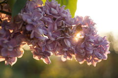 Flowers and leaves of lilac Stock Photo