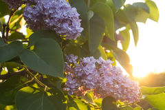 Flowers and leaves of lilac Royalty Free Stock Image