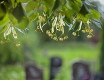 Flowers and leaves of lime tree on a blurred background of grave royalty free stock images