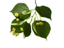 Flowers and leaves of linden on a white background Stock Photo
