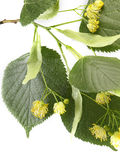 Flowers and leaves of linden on a white background Stock Photos