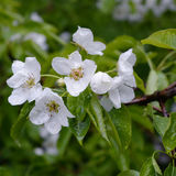 Flowers and leaves of pear tree after the rain with water drops royalty free stock photo
