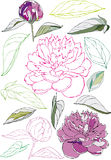 Flowers and leaves of The Peonies Royalty Free Stock Photography