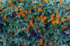 Flowers with leaves. Picture of orange flowers on leaves royalty free stock images