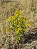 Flowers and leaves of Ragwort, Senecio jacobea Royalty Free Stock Photo