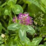 Flowers and leaves of Red Clover, Trifolium pratense, with bokeh background macro, selective focus, shallow DOF.  stock image
