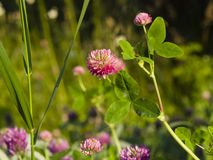 Flowers and leaves of Red Clover, Trifolium pratense, with bokeh background macro, selective focus, shallow DOF.  stock photography