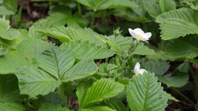 Flowers and leaves of strawberries sway in the wind. Shallow focus stock video footage