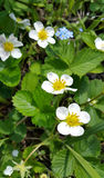 Flowers and leaves of strawberry Stock Photos