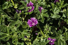 Flowers and leaves of tall mallow. Bright pinkish-purple flowers with dark stripes. Malva sylvestris Royalty Free Stock Images