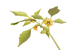 Flowers and leaves of a tomatillo plant Stock Images