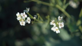 Flowers and leaves of white shrubs sway in the wind on a tree branch in the park. Beautiful spring landscape. Blooming tree closeup. Flowers and leaves of white stock footage