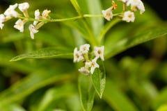 Flowers of lemon verbena Aloysia citrodora. An herb and garden plant from South America Stock Photography
