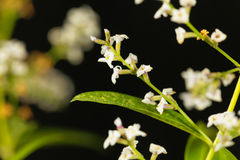 Flowers of lemon verbena Aloysia citrodora. An herb and garden plant from South America Royalty Free Stock Image