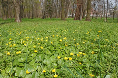 Flowers of lesser celandine in park Royalty Free Stock Photos