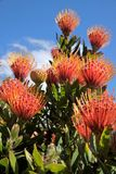 Flowers of Leucospermum cordifolium Stock Photos