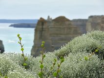 Great Ocean Road. Flowers. Stock Images