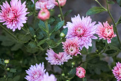Flowers of light pink chrysanthemums. On a green background Stock Photography