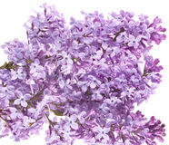 Flowers lilac Royalty Free Stock Images