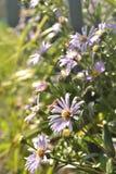 Alpine chamomile royalty free stock photography