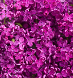 Flowers Lilac background Stock Photo