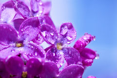 Flowers of a lilac blossom in the spring Royalty Free Stock Photography