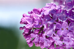 Flowers of a lilac blossom in the spring Royalty Free Stock Photos