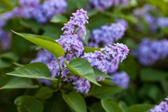 Flowers of Lilac Stock Photos