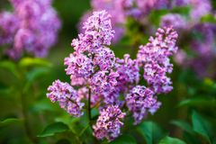 Flowers of Lilac Royalty Free Stock Images
