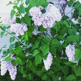 Flowers. Lilac bush showing its gorgeous blooms Stock Photo