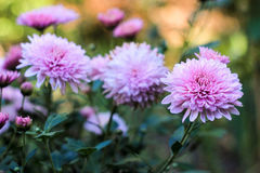 Flowers of lilac chrysanthemums. On a green background Stock Images