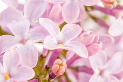 Flowers of lilac. Closeup of lilac flowers can be used as background Stock Photos