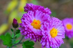 Lilac autumn flower with orange middle royalty free stock photo