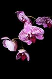 Flowers of a lilac orchid on black background Stock Images
