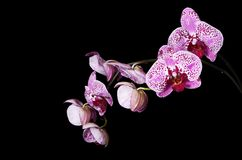 Flowers of a lilac orchid on black background Royalty Free Stock Photo
