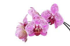 Flowers of lilac orchid isolated on white Royalty Free Stock Photos
