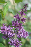 Flowers lilac purple Stock Photography