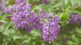 Flowers of lilac stock footage