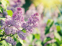 Flowers lilac. Vintage retro hipster style version Stock Photo