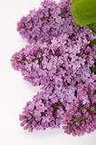The flowers of lilac on a white background Stock Image