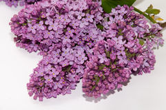 The flowers of lilac on a white background Stock Images