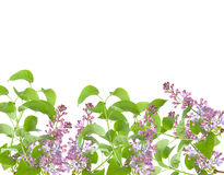Flowers of lilas Royalty Free Stock Photos