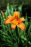 Flowers Lilium Royalty Free Stock Photos