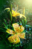 Flowers Lilium tigrinum Royalty Free Stock Photography