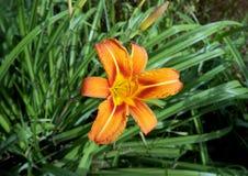Flowers Lilium tigrinum Stock Image