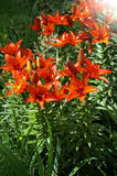 Flowers Lilium tigrinum Royalty Free Stock Photos