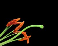 Flowers lily isolated on black background Stock Photos