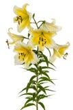 Flowers lily, lat. Lilium Oriental Hybrids Royalty Free Stock Image