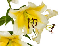 Flowers lily, lat. Lilium Oriental Hybrids Royalty Free Stock Photos