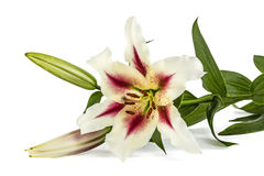 Flowers lily, lat. Lilium Oriental Hybrids. Isolated on white background Stock Images
